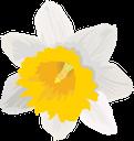 цветок нарцисса, белый цветок, нарцисс, цветы, флора, белый, flower narcissus, white flower, daffodil, flowers, white, blume narzisse, weiße blume, narzisse, blumen, weiß, fleur narcisse, fleur blanche, jonquille, fleurs, flore, blanc, flor blanca, blanco, fiore narciso, fiore bianco, giunchiglia, fiori, bianco, flor narciso, flor branca, narciso, flores, flora, branco, квітка нарциса, біла квітка, нарцис, квіти, білий