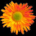 гербера оранжевая, гербера цветущая, цветок герберы, gerbera orange, gerbera blossoming, gerbera flower, gerbera orange gerbera blüte, blume gerbera, gerbera gerbera orange fleur, gerbera fleur, gerbera flor de naranja gerbera, flores de gerbera, gerbera arancione gerbera fiore, fiore gerbera, gerbera laranja gerbera flor, flor do gerbera