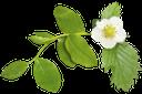 цветок клубники, ветка клубники, зеленый лист, зеленое растение, белый цветок, strawberry flower, strawberry branch, green leaf, green plant, white flower, erdbeerblume, erdbeerzweig, grünes blatt, grüne pflanze, weiße blume, fleur de fraises, branche de fraises, feuille verte, plante verte, fleur blanche, flor de fresa, rama de fresa, hoja verde, flor blanca, fiore di fragola, ramo di fragole, foglia verde, pianta verde, fiore bianco, flor de morango, ramo de morango, folha verde, planta verde, flor branca, квітка полуниці, гілка полуниці, зелений лист, зелена рослина, біла квітка