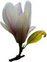 белый цветок, цветок магнолии, зеленое растение, магнолия, white flower, magnolia flower, green plant, weiße blume, magnolienblume, grüne pflanze, magnolie, fleur blanche, fleur de magnolia, plante verte, flor blanca, flor de magnolia, fiore bianco, magnolia fiore, pianta verde, magnolia, flor branca, flor de magnólia, planta verde, magnólia, біла квітка, квітка магнолії, зелена рослина, магнолія