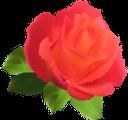 цветок розы, красная роза, красный цветок, цветы, зеленое растение, флора, flower roses, red rose, red flower, flowers, green plant, blumenrosen, rote rose, rote blume, blumen, grüne pflanze, roses fleuries, rose rouge, fleur rouge, fleurs, plante verte, flore, rosas de flores, rosa roja, flor roja, rose di fiori, rosa rossa, fiore rosso, fiori, pianta verde, flor, rosas, rosa vermelha, flor vermelha, flores, planta verde, flora, квітка троянди, червона троянда, червона квітка, квіти, зелена рослина