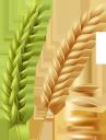 колоски пшеницы, злак, хлеб, хлебоделие, зерно пшеницы, агрономия, сельское хозяйство, spikelets of wheat, cereal, bread, bakery, wheat, agronomy, ährchen von weizen, getreide, brot, bäckerei, weizen, landwirtschaft, épillets de blé, céréales, pain, boulangerie, blé, agronomie, agriculture, espiguillas de trigo, cereales, pan, panadería, agronomía, spighette di grano, cereali, pane, prodotti da forno, grano, agricoltura, espigas de trigo, cereais, pão, padaria, trigo, agronomia, agricultura, колоски пшениці, пшениця, хліб, хліборобство, зерно пшениці, агрономія, сільське господарство