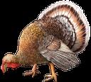 фауна, птицы, индюк, индейка, bird, turkey, vogel, truthahn, faune, oiseau, dinde, pájaro, pavo, uccello, tacchino, fauna, pássaro, peru