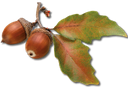 веточка листьев дуба с желудями, листья дуба, желудь, sprig of oak leaves with acorns, oak leaves, acorn, ein zweig der eichenblätter mit eicheln, eichenlaub, eicheln, un brin de feuilles de chêne avec des glands, feuilles de chêne, gland, una ramita de hojas de roble con bellotas, hojas de roble, bellota, un rametto di foglie di quercia con ghiande, foglie di quercia, ghianda, um raminho de folhas de carvalho com bolotas, folhas de carvalho, bolota