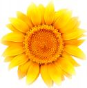 подсолнух, цветок подсолнуха, желтый цветок, зеленое растение, солнечный цветок, флора, sunflower, sunflower flower, yellow flower, green plant, sun flower, sonnenblumenblume, gelbe blume, grünpflanze, sonnenblume, tournesol, fleur de tournesol, fleur jaune, plante verte, fleur du soleil, flore, girasol, flor de girasol, flor amarilla, flor del sol, girasole, fiore di girasole, fiore giallo, pianta verde, fiore del sole, girassol, flor girassol, flor amarela, planta verde, flor sol, flora, соняшник, квітка соняшника, жовта квітка, зелена рослина, сонячна квітка