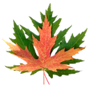 зеленый кленовый лист, красный кленовый лист, листья клена, green maple leaf, red maple leaf, maple leaves, grün ahornblatt, rotes ahornblatt, ahornblätter, feuille d'érable verte, feuille d'érable rouge, feuilles d'érable, verde hoja de arce, hoja de arce rojo, hojas de arce, verde foglia d'acero, foglia d'acero rosso, foglie di acero, folha de plátano verde, folha de bordo vermelha, folhas de bordo