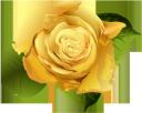 цветок розы, желтая роза, цветы, бутон розы, флористика, флора, flower roses, yellow rose, flowers, rosebud, floristry, blumenrosen, gelbe rose, blumen, rosenknospe, floristik, roses de fleurs, rose jaune, fleurs, bouton de rose, fleuristerie, flore, rosa amarilla, capullo de rosa, floristería, rose di fiori, rosa gialla, fiori, boccioli di rosa, floristica, rosas de flores, rosa amarela, flores, botão de rosa, produtos de floricultura, flora, квітка троянди, жовта троянда, квіти, бутон троянди