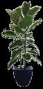 каучуконосный фикус, комнатное растение, фикус крупнолистный, зеленое растение, вазон, a rubber plant, a houseplant, a large-leafed ficus, a green plant, a pot, hauspflanze, grünen blumentopf, houseplant, pot de plante verte, planta de interior, crisol de la planta verde, pianta d'appartamento, pentola pianta verde, ficus elastica, planta de casa, ficus macrophylla, vaso verde