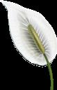 спатифиллум, цветок спатифиллум, белый цветок, тропические цветы, распустившийся цветок, зеленое растение, цветы, флора, flower spathiphyllum, white flower, tropical flowers, blossoming flower, green plant, flowers, blume spathiphyllum, weiße blume, tropische blumen, blühende blume, grüne pflanze, blumen, fleur spathiphyllum, fleur blanche, fleurs tropicales, fleur épanouie, plante verte, fleurs, flore, flor blanca, flores tropicales, flor en flor, spathiphyllum fiore, fiore bianco, fiori tropicali, fiore che sboccia, pianta verde, fiori, spathiphyllum, flor spathiphyllum, flor branca, flores tropicais, flor desabrochando, planta verde, flores, flora, спатифіллум, квітка спатифілум, біла квітка, тропічні квіти, розквітла квітка, зелена рослина, квіти