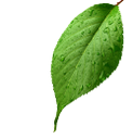 зеленый лист, лист вишни, лист вишневого дерева, green leaf, cherry leaf, grünes blatt, kirsche blätter, blatt von kirschbaum, feuille verte, feuilles de cerisier, feuille d'arbre de la cerise, hoja verde, hojas de cerezo, hoja de cerezo, foglia verde, foglie di ciliegio, foglia di ciliegio, folha verde, folhas cereja, folha da árvore de cereja
