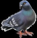 фауна, птицы, голубь, bird, dove, vogel, taube, faune, oiseau, colombe, pájaro, paloma, uccello, colomba, fauna, pássaro, pomba