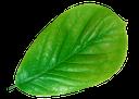 зеленый лист, зеленый лист дерева, флора, green leaf, green leaf of a tree, grünes blatt, grünes blatt baum, feuille verte, arbre à feuilles vert, hoja verde, árbol de hoja verde, foglia verde, albero a foglia verde, folha verde, árvore de folha verde