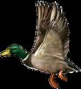 фауна, птицы, дикая утка, birds, wild duck, vögel, wildente, la faune, les oiseaux, le canard sauvage, pájaros, patos silvestres, uccelli, anatre selvatiche, fauna, pássaros, pato selvagem