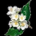 ветка жасмина, жасмин, белый, зеленый лист, цветок, распустившийся цветок, branch of jasmine, jasmine, white, green leaf, flower, blossoming flower, zweig von jasmin, jasmin, weiß, grün, blatt, blüte, vollerblühten blume, branche de jasmin, de jasmin, blanc, vert, feuille, fleur, fleur entière, rama de jazmín, jazmín, blanco, hoja, flor en toda regla, ramo di gelsomino, gelsomino, bianco, foglia, fiore, fiori in piena regola, galho de jasmim, jasmim, branco, verde, folha, flor, flor full-blown
