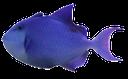 спинорог краснозубый, синяя рыбка, морская рыба, синий, blue fish, marine fish, blue, trigger, blauer fisch, meeresfische, blau, baliste, poisson bleu, poissons de mer, bleu, ballesta, pescado azul, pez marino, balestra, pesce azzurro, pesci marini, blu, triggerfish, peixes azuis, peixes marinhos, azul
