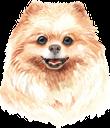 собака, померанский шпиц, домашние животные, фауна, dog, pets, hund, pommern, haustiere, chien, poméranien, animaux domestiques, faune, perro, pomerania, mascotas, cane, pomeranian, animali domestici, cão, pomerânia, animais de estimação, fauna, пес, померанський шпіц, домашні тварини