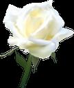 белая роза, бутон розы, цветок розы, белые розы, цветы, белый, роза, флора, white rose, rose flower, white roses, flowers, white, weiße rose, rosenknospe, rosenblüte, weiße rosen, blumen, weiß, rose blanche, bouton de rose, fleur rose, roses blanches, fleurs, blanc, rose, flore, rosa blanca, capullo de rosa, flor color de rosa, rosas blancas, blanco, rosa bianca, bocciolo di rosa, fiore di rosa, rose bianche, fiori, bianco, rosa branca, rosebud, rosa flor, rosas brancas, flores, branco, rosa, flora, біла троянда, бутон троянди, квітка троянди, білі троянди, квіти, білий, троянда