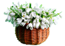 цветы подснежники, корзина подснежников, белые цветы, весна, flowers snowdrops, basket of snowdrops, white flowers, spring, schneeglöckchen blumen, einen korb von schneeglöckchen, weiße blüten, frühling, snowdrops fleurs, un panier de perce-neige, fleurs blanches, ressort, una cesta de campanillas de invierno, flores blancas, bucaneve fiori, un cesto di bucaneve, fiori bianchi, la primavera, snowdrops flores, um cesto de snowdrops, flores brancas, primavera