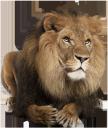 лев, африканские животные, царь зверей, король лев, african animals, king of beasts, king lion, löwen, afrikanische tiere, könig der tiere, könig der löwen, lion, animaux africains, roi des animaux, roi lion, león, animales africanos, rey de los animales, león del rey, leone, animali africani, re degli animali, re leone, leão, animais africanos, rei dos animais, rei leão, африканські тварини, цар звірів