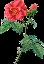 красный цветок, роза, садовый цветок, цветы, садовые цветы, зеленое растение, red flower, флора, garden flower, flowers, garden flowers, green plant, rote blume, gartenblume, blumen, gartenblumen, grüne pflanze, natur, fleur rouge, природа, fleur de jardin, fleurs, fleurs de jardin, plante verte, nature, flore, flor roja, flor del jardín, flores del jardín, naturaleza, fiore rosso, fiore da giardino, fiori, fiori da giardino, pianta verde, natura, flor vermelha, flor de jardim, flores, flores de jardim, planta verde, natureza, flora, червона квітка, садова квітка, квіти, садові квіти, зелена рослина
