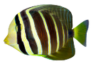 полосатая рыбка, морская рыбка, striped fish, sea fish, gestreiften fisch, meeresfische, poisson rayé, poisson de mer, peces rayas, peces de aguas, pesce a strisce, pesce di mare, peixe listrado, peixe de água salgada