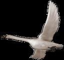 птицы, белый лебедь, перелетные птицы, гусеобразные птицы, лебедь шипун, birds, white swan, migratory birds, anseriform birds, mute swan, vogel, weißer schwan, zugvögel, wasser, stumme schwan, oiseau, cygne blanc, les oiseaux migrateurs, les oiseaux aquatiques, cygne muet, pájaro, cisne blanco, aves migratorias, aves acuáticas, cisne mudo, uccello, cigno bianco, uccelli migratori, uccelli acquatici, cigno reale, pássaro, cisne branco, aves migratórias, aves aquáticas, cisne muda, птиці, білий лебідь, перелітні птахи, гусеобразние птиці, лебідь шипун