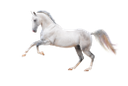 белая лошадь, конь, скаковая лошадь, лошадь, породистая лошадь, конский волос, мустанг, white horse, racehorse, horse, thoroughbred horse, horse hair, weißes pferd, rennpferd, pferd, vollblüter, pferdehaar, cheval blanc, cheval de course, cheval, chevaux pur-sang, crin de cheval, caballo blanco, caballo de carreras, caballo, caballos pura sangre, pelo de caballo, cavallo bianco, cavallo da corsa, cavallo, cavallo purosangue, crine di cavallo, cavalo branco, cavalo de corrida, cavalo, cavalo puro-sangue, crina de cavalo, mustang