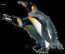 пингвин, морская птица, королевский пингвин, птица с длинным клювом, penguin, seabird, king penguin, a bird with a long beak, pinguin, seevögel, königspinguin, ein vogel mit einem langen schnabel, pingouin, oiseau marin, roi pingouin, un oiseau avec un long bec, pingüino, ave marina, pingüino de rey, un pájaro con un pico largo, uccello marino, pinguino, un uccello con un lungo becco, pinguim, ave marinho, pinguim de rei, um pássaro com um bico longo
