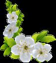 флора, весна, цветы, цветущая вишня, зеленый лист, spring, flowers, cherry blossoms, green leaf, frühling, blumen, kirschblüten, grünes blatt, flore, printemps, fleurs, fleurs de cerisier, feuille verte, flores de cerezo, la hoja verde, fiori, fiori di ciliegio, verde foglia, flora, primavera, flores, flores de cerejeira, folha verde