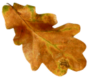 сухой лист дуба, осенний лист, желтый лист дуба, дуб, желтые листья, dry oak leaf, autumn leaf, yellow oak leaf, oak, yellow leaves, trockenes eichenblatt, herbstblatt, gelb eichenlaub, eiche, gelbe blätter, feuille de chêne sec, feuille d'automne, jaune feuille de chêne, chêne, feuilles jaunes, hoja seca del roble, hoja del otoño, hoja de roble amarillo, roble, hojas amarillas, foglia di quercia secca, foglia d'autunno, foglia di quercia giallo, quercia, foglie gialle, folha seca do carvalho, folha do outono, folha do carvalho amarelo, carvalho, folhas amarelas