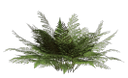 папоротник, зеленый папоротник, куст папоротника, листья папоротника, зеленое растение, fern, green fern, fern bush, fern leaves, green plant, farne, grüne farne, farn busch, farnkraut, grüne pflanze, fougères, fougères vert, fougère brousse, les feuilles de fougère, plante verte, helechos, helechos verdes, arbusto helecho, hojas de helecho, felci, felci verdi, cespuglio felce, foglie di felce, pianta verde, samambaias, samambaias verdes, arbusto samambaia, folhas de samambaia, planta verde