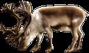 фауна, животные, парнокопытные, северный олень, animals, cloven-hoofed, reindeer, tiere, paarhufer, rentier, faune, animaux, artiodactyles, rennes, animales, de pezuña hendida, renos, animali, artiodattili, renne, fauna, animais, artiodáctilos, renas