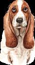 собака, бассет-хаунд, домашние животные, фауна, dog, pets, hund, haustiere, chien, chien de basset, animaux domestiques, faune, perro, mascotas, cane, animali domestici, cachorro, basset hound, animais de estimação, fauna, пес, домашні тварини
