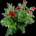 цветок розы, куст розы красной, rose flower, rose bush red, blumen rosen, strauchrosen rot, roses de fleurs, d'arbustes roses rouges, rosas de flores, arbustos de rosas rojas, rose fiori, rose arbustive rosse, rosas flores, rosas de arbusto vermelho