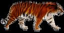 тигр, амурский тигр, бенгальский тигр, большая кошка, отряд кошачьих, amur tiger, big cat, feline squad, tiger, amur-tiger, bengal tiger, große katze, katzen- kader, tigre de l'amour, le tigre du bengale, grand chat, félin équipe, tigre de bengala, escuadra felina, tigre dell'amur, tigre del bengala, grande gatto, felino rosa, tigre, tigre de amur, bengala tigre, gato grande, felino squad
