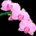 розовая орхидея, ветка орхидеи, цветок орхидеи, pink orchid, a branch of an orchid, an orchid flower, rosa orchidee, orchidee zweig, orchideenblüte, orchidée rose, orchidée branche, orchidée, fleur, rosa orquídea, ramificación de la orquídea, flores de orquídeas, rosa orchidea, ramo di orchidea, fiori di orchidea, orquídea rosa, filial da orquídea, flor da orquídea
