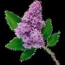 цветок сирень, ветка сирени, цветущая ветка сирени, зеленый лист, a lilac flower, a lilac branch, a flowering lilac branch, a green leaf, lila blume, lila zweig, blühende zweig der lila, grünen blatt, fleur de lilas, branche de lilas, la floraison branche de lilas, feuille verte, flor de la lila, lila rama, rama de floración de color lila, hoja verde, fiore lilla, lilla ramo, ramo fiorito di lillà, verde foglia, flor lilás, ramo lilás, branch de lilás, folha verde