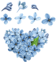 голубая сирень, цветочное сердце, цветок сирени, любовь, цветы, blue lilac, flower heart, lilac flower, love, flowers, blaulila, florale herz, lila blume, liebe, blumen, lilas bleu, coeur floral, fleur lilas, amour, fleurs, lila azul, corazón floral, flor de la lila, lilla blu, cuore floreale, lilla fiore, amore, fiori, lilás azul, coração floral, flor lilás, amor, flores, блакитний бузок, квіткове серце, квітка бузку, любов, квіти