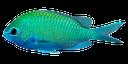 сине зеленая рыбка, аквариумная рыбка, blue green fish, aquarium fish, blau, grün, fisch, aquarienfische, poisson vert bleu, les poissons d'aquarium, pez verde azul, peces de acuario, pesce verde azzurro, pesci dell'acquario, peixe verde azul, peixes de aquário