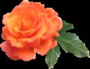 цветок розы, оранжевая роза, оранжевый цветок, цветы, зеленое растение, флора, flower roses, orange flower, flowers, green plant, blumenrosen, orange rose, orange blume, blumen, grünpflanze, roses fleuries, rose orangé, fleur d'oranger, fleurs, plante verte, flore, rosas de flores, rosa naranja, flor de naranja, rose di fiori, rosa arancione, fiori d'arancio, fiori, piante verdi, flor, rosas, laranja rosa, flor laranja, flores, planta verde, flora, квітка троянди, помаранчева троянда, помаранчевий квітка, квіти, зелена рослина