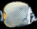 морская рыба, серебряная рыба, sea fish, silver fish, seefische, silberfische, poissons d'eau salée, les poissons d'argent, peces de agua salada, peces de plata, pesci di mare, pesci d'argento, peixes de água salgada, peixes de prata