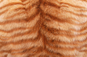 текстура мех, шкура тигра, fur texture, tiger skin, textur des pelzes, tigerfell, la texture de la fourrure, peau de tigre, textura de la piel, piel de tigre, texture della pelliccia, pelle di tigre, textura da pele, pele de tigre, текстура хутро, шкіра тигра