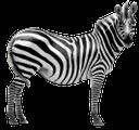 зебра, дикая лошадь, африканское животное, парнокопытные, wild horses, african animals, zebras, wildpferde, afrikanische tiere, paarhufig, zèbre, chevaux sauvages, animaux africains, biongulés, cebra, caballos salvajes, animales africanos, de pezuña hendida, cavalli selvatici, animali africani, biungulati, zebra, cavalos selvagens, animais africanos, cloven-hoofed