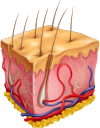 медицина, органы человека, анатомия, кожа, кожный покров, части тела, тело человека, medicine, human organs, anatomy, skin, body parts, human body, medizin, menschliche organe, haut, körperteile, menschlicher körper, médecine, organes humains, anatomie, peau, parties du corps, corps humain, órganos humanos, anatomía, piel, partes del cuerpo, cuerpo humano, organi umani, pelle, parti del corpo, corpo umano, medicina, órgãos humanos, anatomia, pele, partes do corpo, corpo humano, органи людини, анатомія, шкіра, шкірний покрив, частини тіла, тіло людини