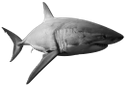 белая акула, акула, морская рыба, акульи плавники, морской хищник, shark, sea fish, shark fins, sea predator, hai, seefisch, haifischflossen, meer räuber, requin, poissons de mer, les nageoires de requin, mer prédateur, tiburón, pescado de mar, aletas de tiburón, depredador del mar, squalo, pesce di mare, pinne di squalo, predatore del mare, tubarão, peixes do mar, barbatanas de tubarão, predador do mar