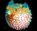 рыба фугу, рыба для суши, ядовитая рыба фугу, рыба шар, морской деликатес, морская рыба, иглобрюхообразные, fish fugu, fish for sushi, poisonous fugu fish, fish ball, sea delicacy, sea fish, pufferfish, kugelfisch, sushi-fisch, giftigen kugelfisch, goldfischglas, meeres zartheit, seefisch, puffer poisson, sushi, poisson-globe toxique, bol de poisson, la délicatesse marine, poissons de mer, peces globo, peces sushi, pez globo venenoso, pecera, delicadeza marinos, peces de mar, pesce palla, pesce sushi, pesce palla velenoso, boccia per i pesci, delicatezza marine, pesce di mare, baiacu, sushi de peixe, baiacu venenoso, bacia dos peixes, delicadeza marinho, peixes do mar, tetraodontiformes