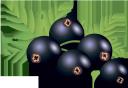 смородина, синяя ягода, ягода смородины, синий, currant, blue berry, currant berry, blue, blaue beere, johannisbeere, blau, groseille, baie bleue, baie de cassis, bleu, baya azul, grosella, ribes, bacca blu, bacche di ribes, blu, baga azul, groselha, azul, синя ягода, ягода смородини, синій