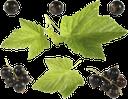 черная смородина, ягода смородины, листья смородины, зеленый лист, лист смородины, black currant, currant berry, currant leaves, green leaf, currant leaf, berry, schwarze johannisbeere, johannisbeere, johannisbeerblätter, grünes blatt, johannisbeerblatt, beere, cassis, baie de cassis, feuilles de cassis, feuille verte, feuille de cassis, baie, grosella negra, grosella, hojas de grosella, hoja verde, hoja de grosella, baya, ribes nero, bacche di ribes, foglie di ribes, foglia verde, foglia di ribes, bacca, groselha preta, groselha, folhas de groselha, folha verde, folha de groselha, baga, чорна смородина, ягода смородини, листя смородини, зелений лист, лист смородини, ягода