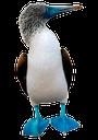 олуша, голубоногая олуша, морские птицы, птица с длинным клювом, footed booby, blue-footed boobies, sea birds, a bird with a long beak, fusstölpel, blaufußtölpel, seevögel, ein vogel mit einem langen schnabel, fous à pattes, fous à pattes bleues, oiseaux de mer, un oiseau avec un long bec, bobo, piqueros de patas azules, aves marinas, un pájaro con un pico largo, booby footed, sule dai piedi azzurri, uccelli marini, un uccello con un lungo becco, footed, boobies de patas azuis, aves marinhas, um pássaro com um bico longo
