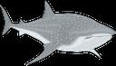акула, морская рыба, акульи плавники, китовая акула, shark, sea fish, shark fins, whale shark, hai, seefisch, haifischflossen, walhai, requin, poissons de mer, ailerons de requin, le requin baleine, tiburón, pescado de mar, aletas de tiburón, tiburón ballena, squalo, pesce di mare, pinne di squalo, squalo balena, tubarão, peixe de água salgada, barbatanas de tubarão, tubarão baleia